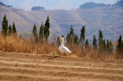 在山的一只鹅 库存照片