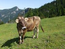 在山的一头棕色母牛 库存图片