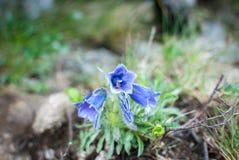 在山的一朵偏僻的花 免版税库存照片