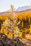 在山的一棵生锈的树在秋天 免版税库存照片