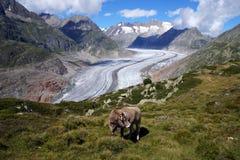 在山的一头母牛在Aletsch冰川上 库存图片