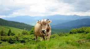 在山的一头母牛 免版税库存照片