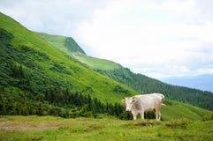 在山的一头母牛 库存照片