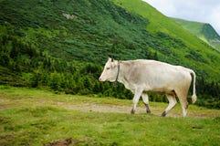 在山的一头母牛 免版税图库摄影
