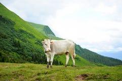 在山的一头母牛 免版税库存图片