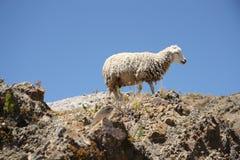 在山的上面的孤独的绵羊 库存图片