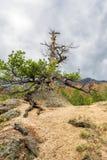 在山的上面的干燥杉木 免版税库存图片