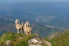 在山的两只绵羊 库存图片