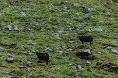 在山的两只绵羊 免版税库存照片