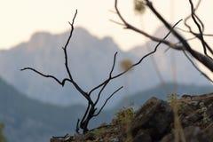 在山的倾斜的植被 并且灌木分支在火以后烧了 免版税图库摄影