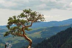 在山的偏僻的杉树 免版税库存图片