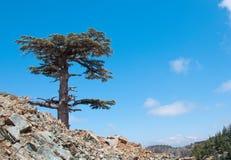 在山的偏僻的雪松反对蓝色 免版税库存图片