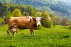 在山的健康母牛 免版税图库摄影