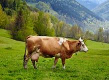 在山的健康母牛 库存照片