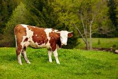 在山的健康母牛 库存图片