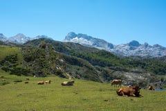 在山的公牛 免版税库存图片