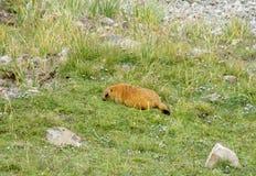 在山的土拨鼠在草 库存图片