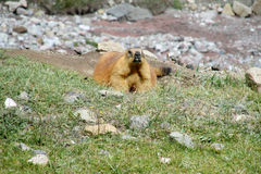 在山的土拨鼠在绿草 图库摄影