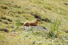 在山的土拨鼠在绿草 库存照片