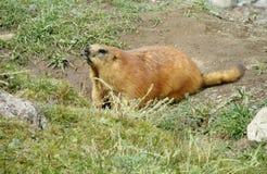 在山的土拨鼠在绿草 免版税库存照片