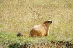 在山的土拨鼠在绿草 库存图片