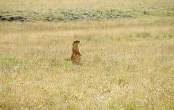 在山的土拨鼠在绿草 免版税库存图片