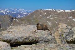 在山的土拨鼠 库存图片