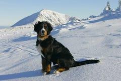 在山的圣伯纳德狗 库存照片