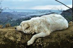 在山的大白色狗 免版税库存照片