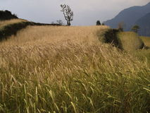 在山的大麦领域 免版税图库摄影