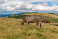在山的奶牛 库存图片