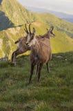 在山的好奇Tatra羚羊 免版税图库摄影