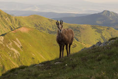 在山的好奇Tatra羚羊 免版税库存图片