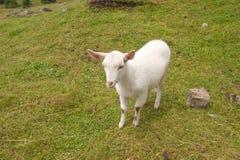 在山的山羊 免版税图库摄影