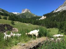 在山的山羊 图库摄影