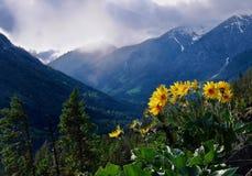在山的山金车向日葵 库存图片
