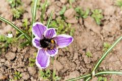 在山的开花的紫罗兰色番红花 沼地报春花 背景设计横向太阳您 喀尔巴汗,乌克兰,欧洲 土蜂p 免版税库存图片