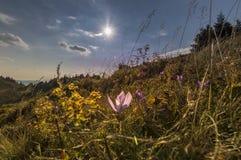 在山的开花的紫罗兰色番红花 免版税图库摄影