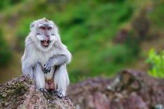 在山的微笑的猴子 库存图片
