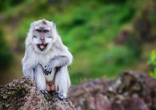 在山的微笑的猴子 免版税库存照片