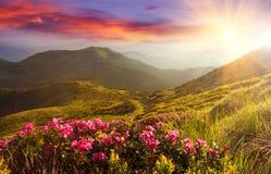 在山的惊人的五颜六色的日落与庄严阳光和桃红色杜鹃花在前景开花 剧烈的五颜六色的场面 库存图片