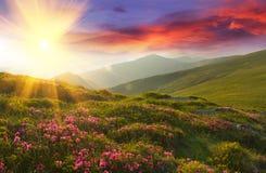 在山的惊人的五颜六色的日落与庄严阳光和桃红色杜鹃花在前景开花 剧烈的五颜六色的场面 库存照片