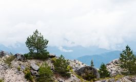 在山的杉木 图库摄影