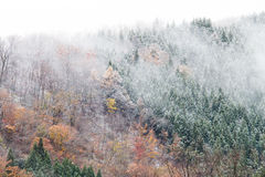 在山的杉树在与雪盖,日本的秋天 免版税库存图片
