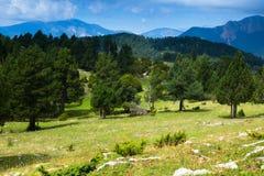 在山的杉树 库存图片