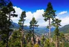 在山的杉树 免版税库存照片