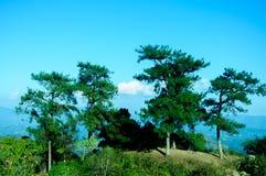 在山的杉树 免版税图库摄影