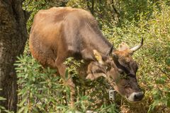 在山的母牛在草 免版税库存图片