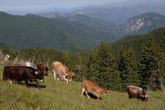 在山的母牛 免版税图库摄影