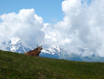 在山的母牛 图库摄影